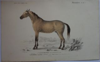 Arabian Horse Lithograph Published in 1849. Lithograph Arabian Horse